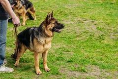 Beautiful German shepherd dog on a leash stock photos