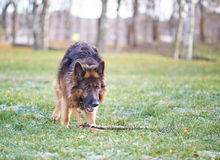 German shepherd dog with the stick Stock Photography