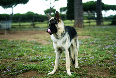 German shepherd dog. Stood in a park licking its lips stock images
