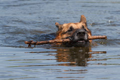 The German Shepherd dog is swimming Stock Images