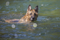 The German Shepherd dog is swimming Royalty Free Stock Image