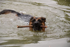 German Shepherd Dog swims in the lake, and carries a stick. Royalty Free Stock Photo