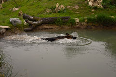 German Shepherd Dog swims in the pond. Royalty Free Stock Photo