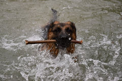 German Shepherd Dog swims in the water, and carries a stick. Stock Images