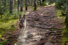 German Shepherd Dog taking a break on a hike to pant with visible breath Royalty Free Stock Photos