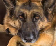 German Shepherd Dog. A thoughtful looking German Shepherd dog, close up Royalty Free Stock Photos