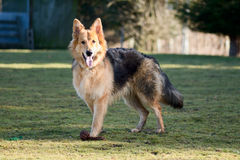 German Shepherd dog with throw toy Royalty Free Stock Images