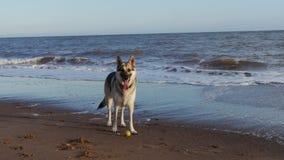 German Shepherd dog on the tideline of a beach. Young German Shepherd dog with ball standing on the tide line of a beach in England stock photos