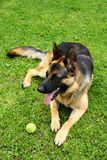 German shepherd dog with a toy royalty free stock photo