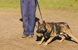 German shepherd dog. In training stock image