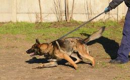 German shepherd dog. In training stock images