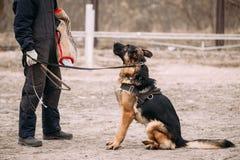 German Shepherd Dog Training. Biting Alsatian Wolf Dog Stock Images