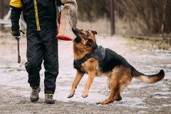 German Shepherd Dog training. Biting dog. Royalty Free Stock Images