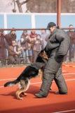 German shepherd dog training. Biting dog. Alsatian Wolf Dog. Gomel, Belarus - March 12, 2016: German shepherd dog training. Biting dog. Alsatian Wolf Dog royalty free stock images