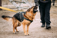 German Shepherd Dog training. Biting dog. Royalty Free Stock Photos