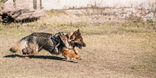 German Shepherd Dog training. Biting dog. Royalty Free Stock Images