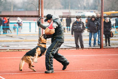 German shepherd dog training in Gomel Regional Royalty Free Stock Photography