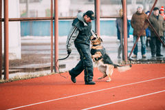 German shepherd dog training in Gomel Regional Stock Photos