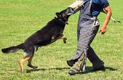 German shepherd dog at training Stock Image