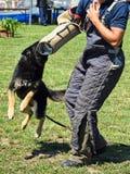 German shepherd dog in training Stock Image