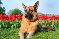 German Shepherd Dog Tulip Field Royalty Free Stock Photography