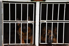 German Shepherd Dog. Two dogs are locked up in a cage on a trailer. Dog royalty free stock photos