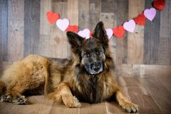 German Shepherd Dog on Valentines Day Photo Set. 