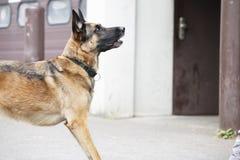 German Shepherd Dog Waiting. Pure breed german shepherd dog is listening to the person, waiting Stock Images