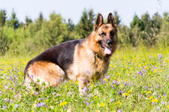 German Shepherd dog. On the walk on the meadow stock image