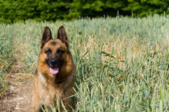 The German Shepherd dog on the walk. Royalty Free Stock Image