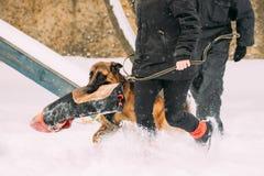 German Shepherd Dog Walking Near Owner During Training. Winter Season. Training Of Purebred Adult Alsatian Wolf Dog. Dog Holding Training Sleeve In Jaws royalty free stock photos
