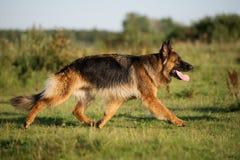German shepherd dog walking outdoors Royalty Free Stock Images