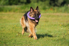 German shepherd dog walking outdoors Stock Photos