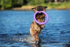 German shepherd dog walking outdoors Royalty Free Stock Image