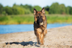 German shepherd dog walking outdoors Royalty Free Stock Images