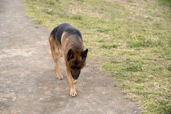 German shepherd dog walking at the park royalty free stock photography