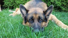 German Shepherd Dog is watching you. German Shepherd Dog Odin taking care of our garden Royalty Free Stock Images
