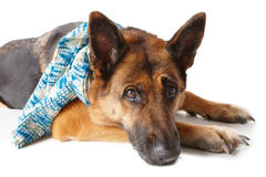 German shepherd dog wearing scarf Royalty Free Stock Image