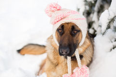 German shepherd dog wearing winter hat Stock Photo