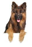 German shepherd dog on a white background Stock Image
