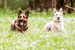 German shepherd dog with White Swiss Shepherd Royalty Free Stock Image