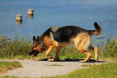 A German shepherd dog who sniffs the soil in search of the good smell in nature near a lake Royalty Free Stock Photos