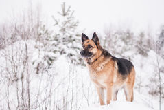 German Shepherd Dog at winter Stock Images