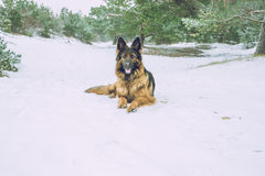 German Shepherd Dog in winter. 2016 royalty free stock images
