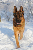 German Shepherd dog on winter background. Portrait of a purebred German Shepherd dog on winter background. Handsome young dog looking walking on snow Stock Photos