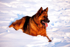 german shepherd dog winter portrait Royalty Free Stock Images