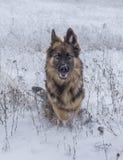 German Shepherd dog in winter time. German Shepherd dog running through snow in winter time Stock Photos