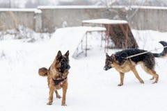 German shepherd dog in winter stock images