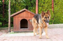 German shepherd and doghuse Royalty Free Stock Image