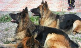 German shepherd dogs-Andalusia-Spain-Europe Stock Photos